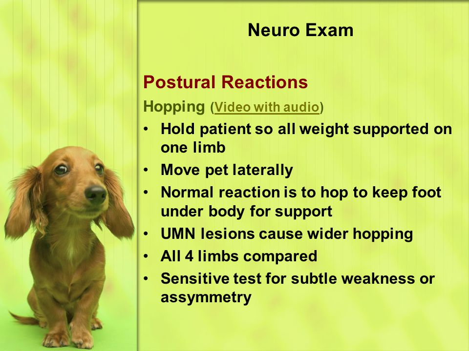 Neuro Exam Postural Reactions Hopping (Video with audio)
