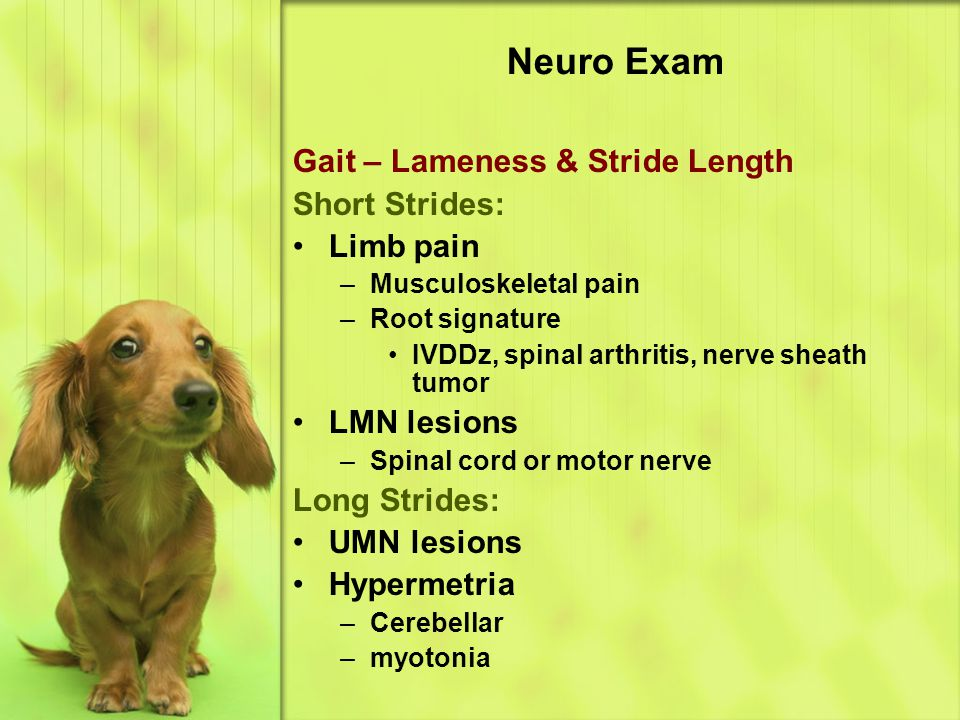 Neuro Exam Gait – Lameness & Stride Length Short Strides: Limb pain