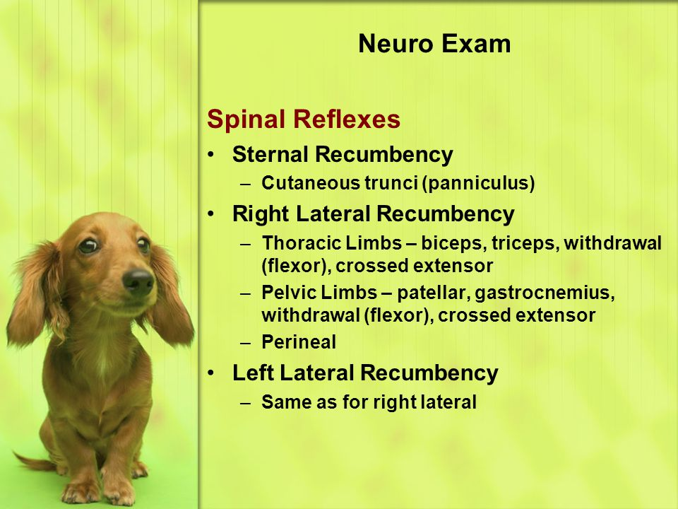 Neuro Exam Spinal Reflexes Sternal Recumbency Right Lateral Recumbency
