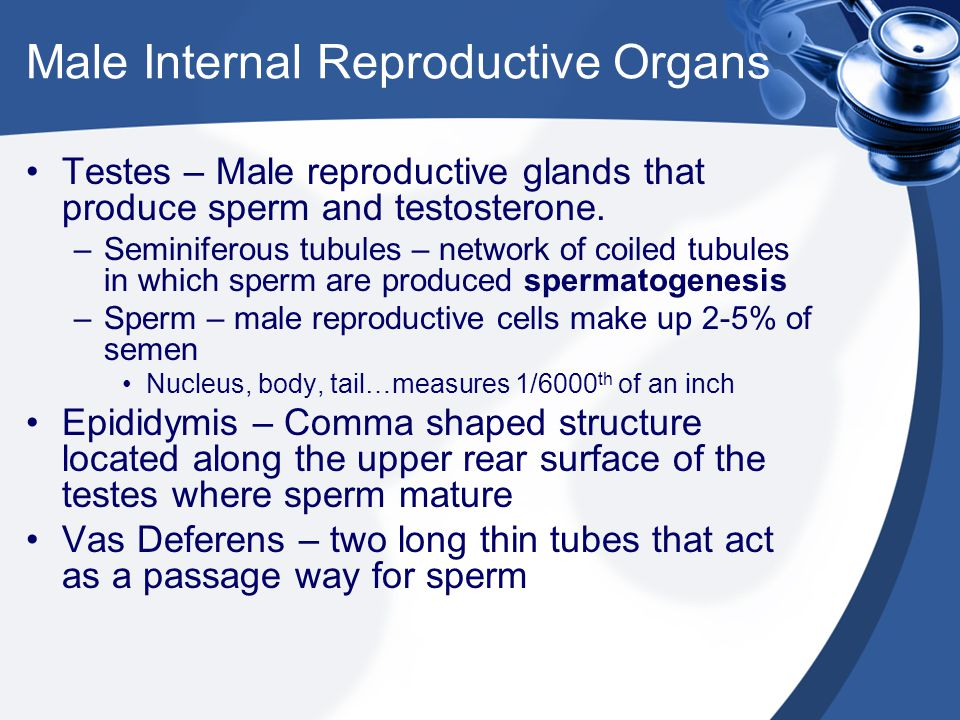 Male Internal Reproductive Organs