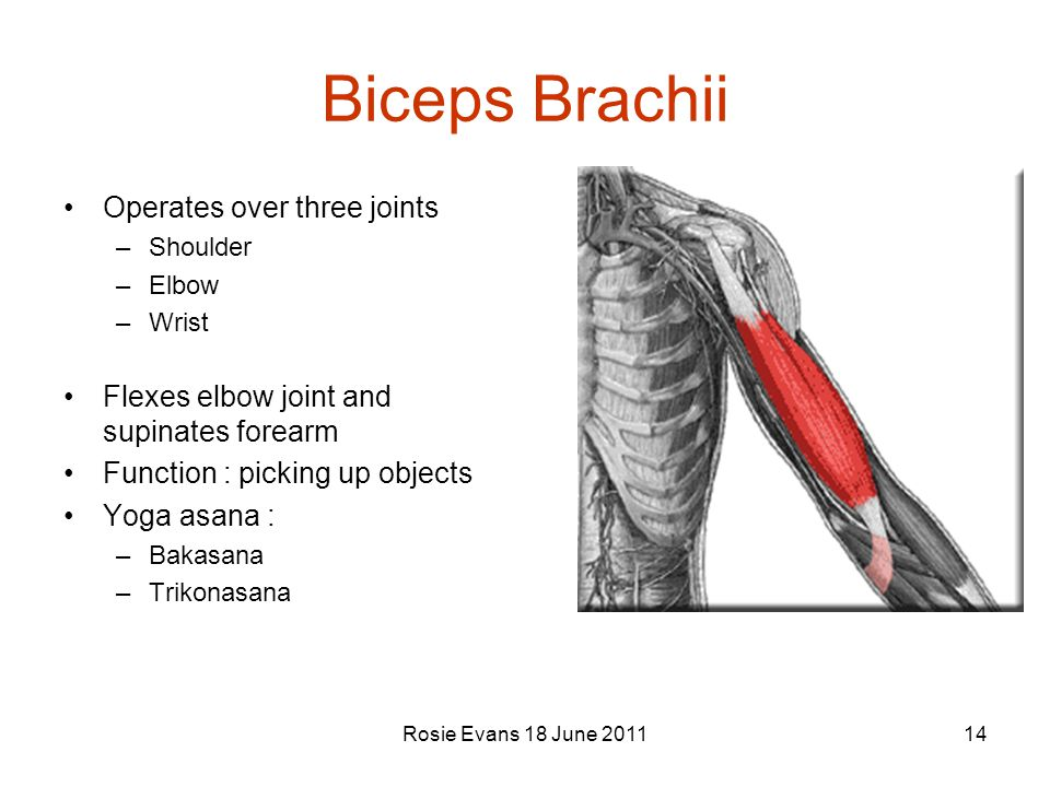 Biceps Brachii Operates over three joints