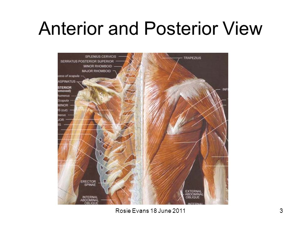 Anterior and Posterior View