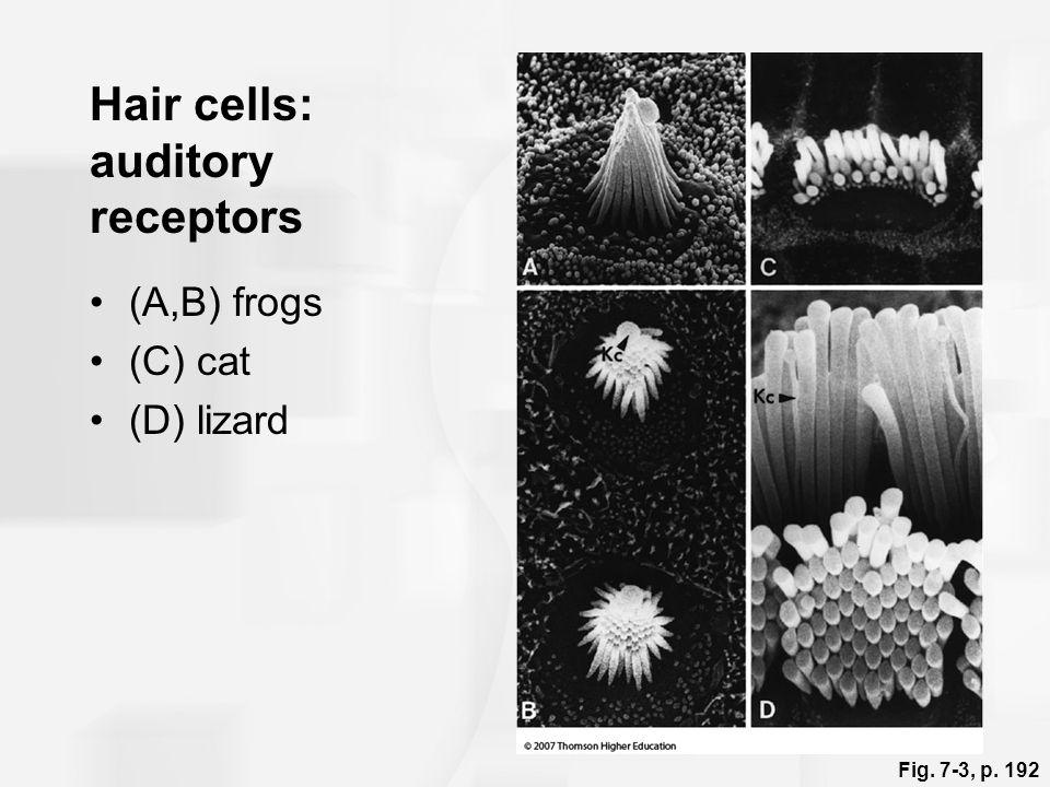 Hair cells: auditory receptors