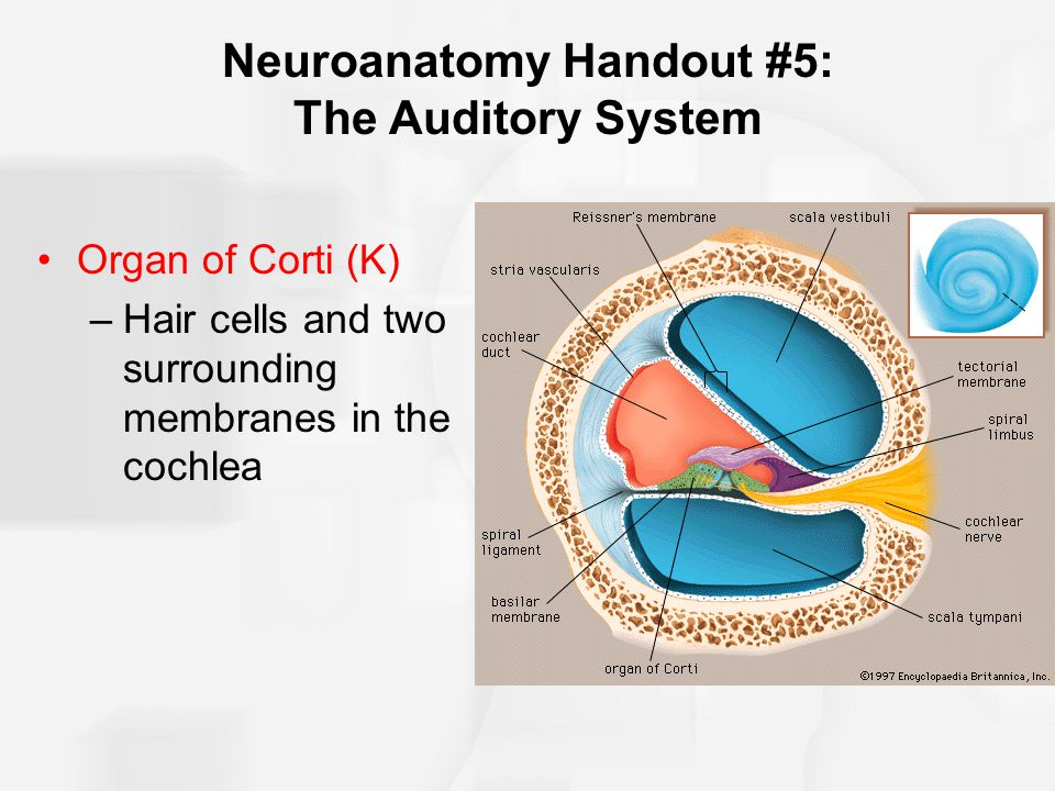 Neuroanatomy Handout #5: The Auditory System