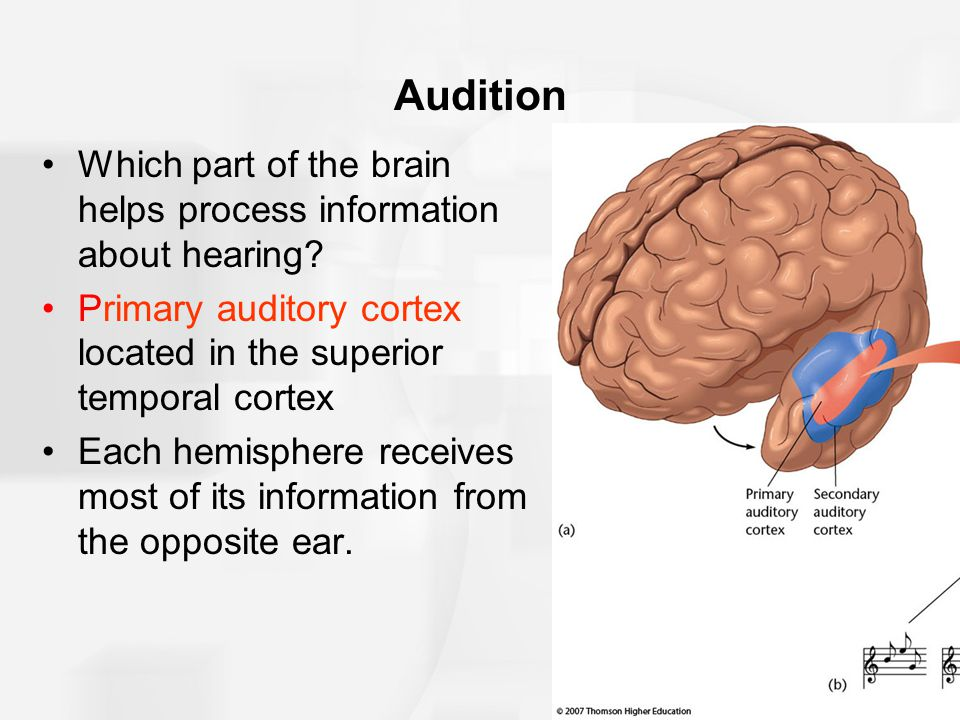 Audition Which part of the brain helps process information about hearing Primary auditory cortex located in the superior temporal cortex.