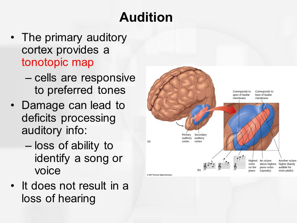 Audition The primary auditory cortex provides a tonotopic map