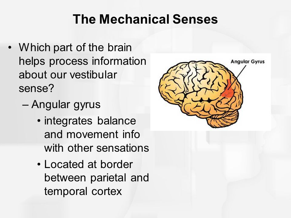 The Mechanical Senses Which part of the brain helps process information about our vestibular sense