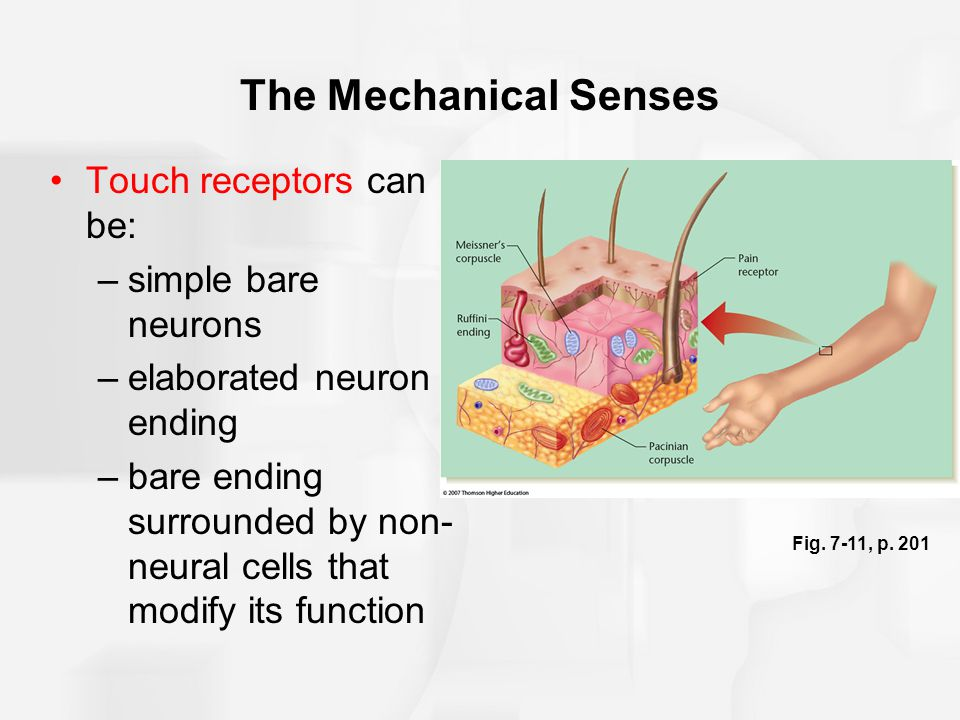 The Mechanical Senses Touch receptors can be: simple bare neurons