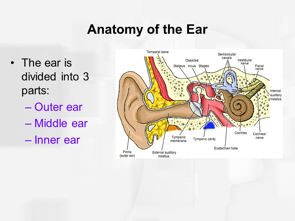 Anatomy of the Ear The ear is divided into 3 parts: Outer ear