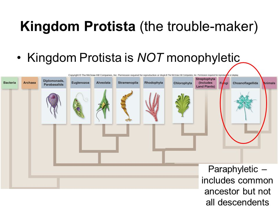 Kingdom Protista (the trouble-maker)