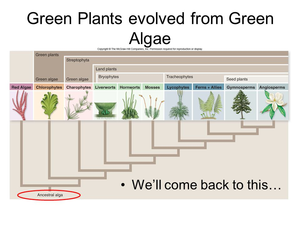 Green Plants evolved from Green Algae