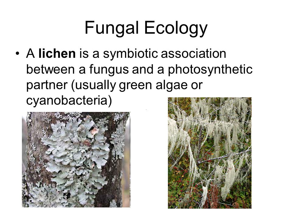 Fungal Ecology A lichen is a symbiotic association between a fungus and a photosynthetic partner (usually green algae or cyanobacteria)