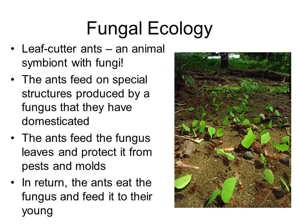 Fungal Ecology Leaf-cutter ants – an animal symbiont with fungi!