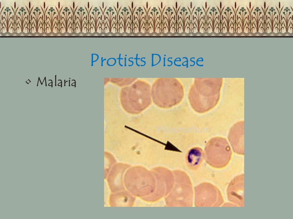 Protists Disease Malaria Plasmodium
