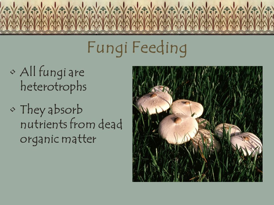 Fungi Feeding All fungi are heterotrophs