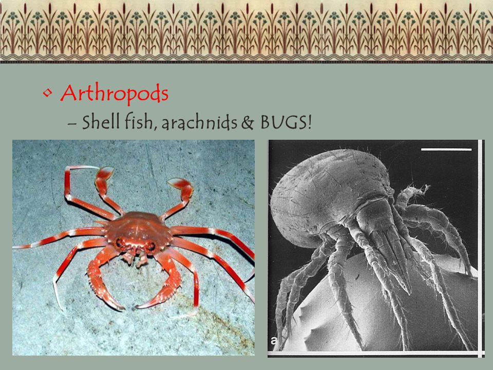 Arthropods Shell fish, arachnids & BUGS!