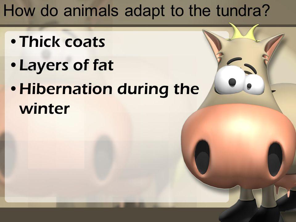 How do animals adapt to the tundra