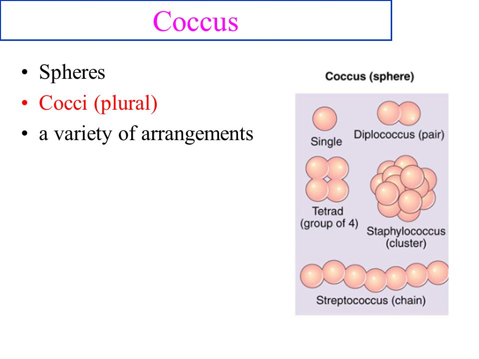 Coccus Spheres Cocci (plural) a variety of arrangements 11