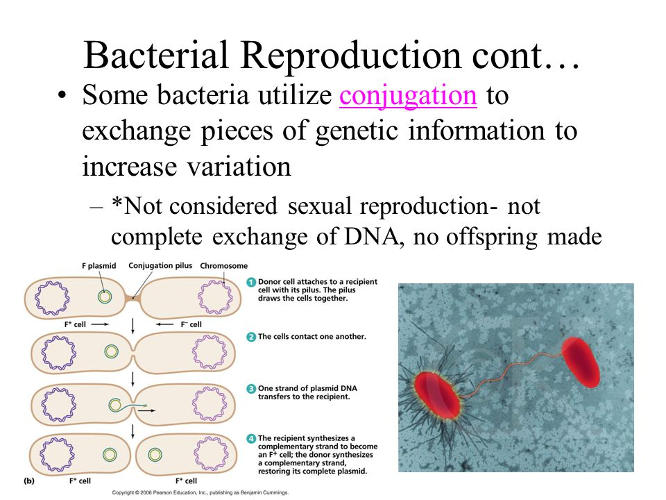 Bacterial Reproduction cont…