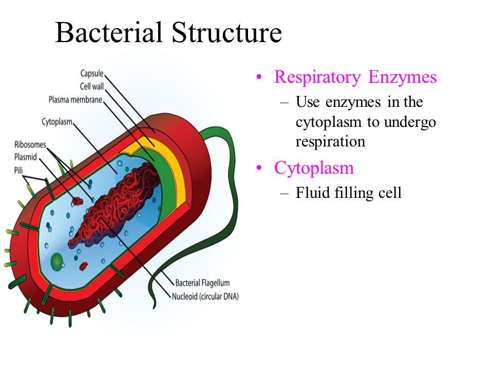 Bacterial Structure Respiratory Enzymes Cytoplasm