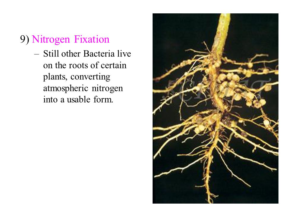 9) Nitrogen Fixation Still other Bacteria live on the roots of certain plants, converting atmospheric nitrogen into a usable form.
