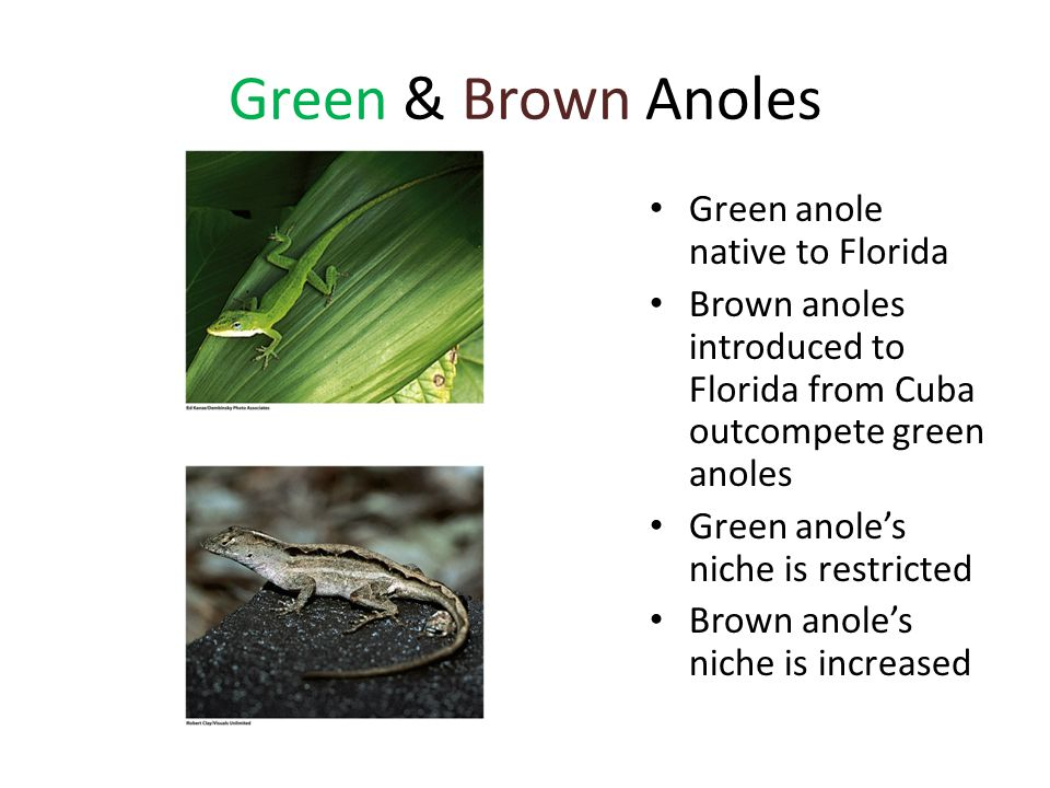 Green & Brown Anoles Green anole native to Florida