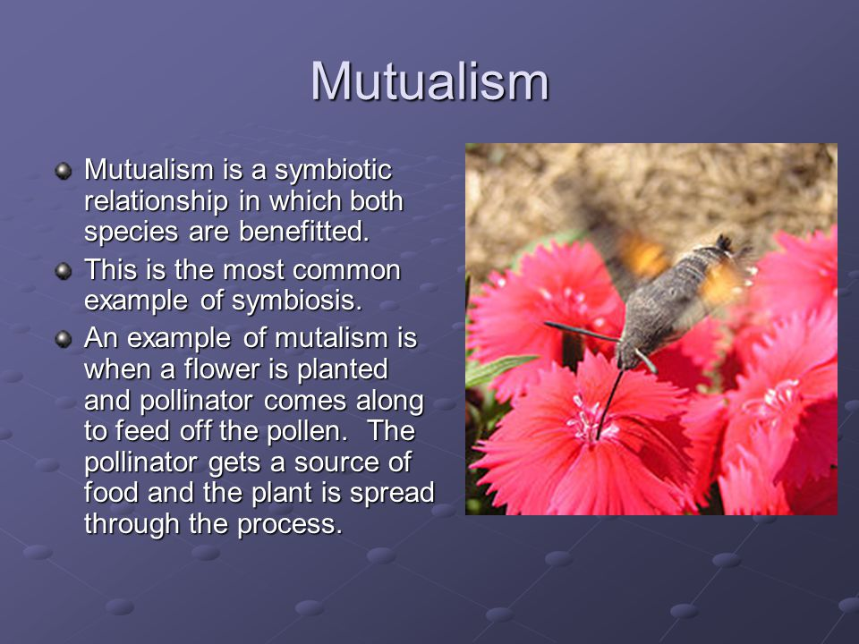 Mutualism Mutualism is a symbiotic relationship in which both species are benefitted. This is the most common example of symbiosis.