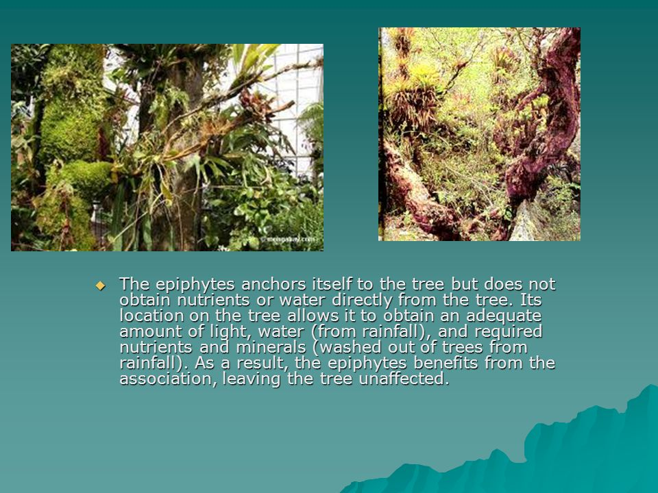 The epiphytes anchors itself to the tree but does not obtain nutrients or water directly from the tree.