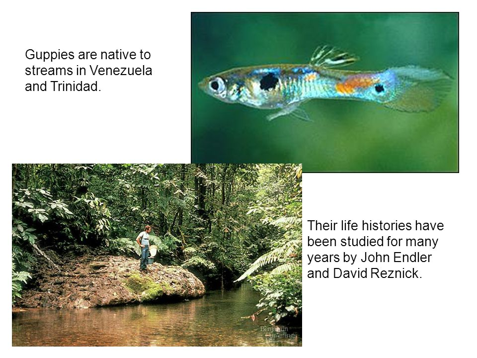 Guppies are native to streams in Venezuela and Trinidad.