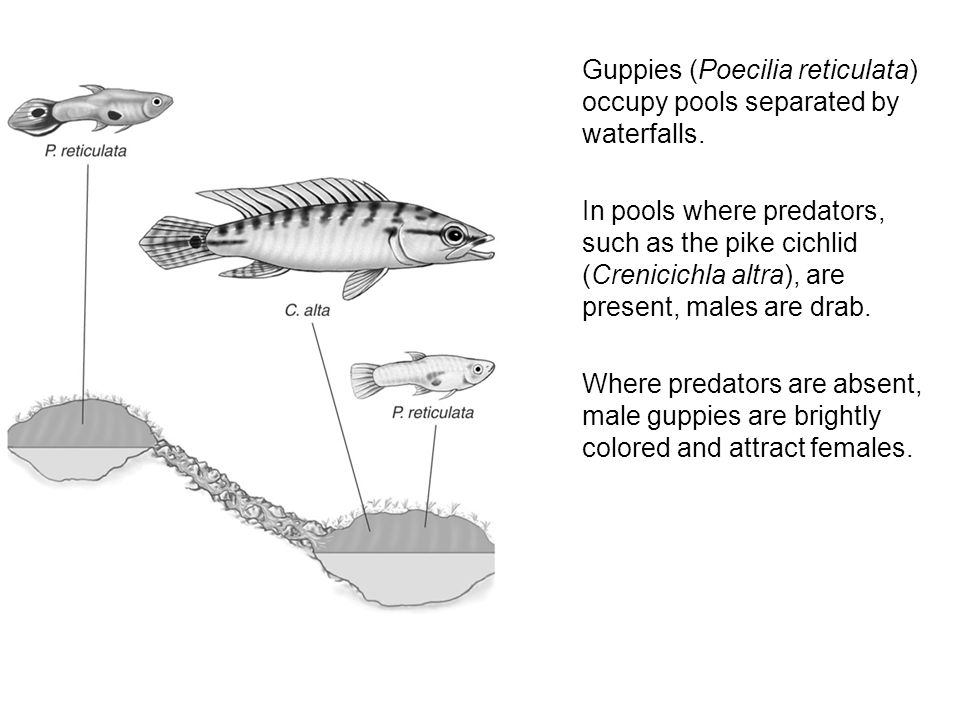 Guppies (Poecilia reticulata) occupy pools separated by waterfalls.