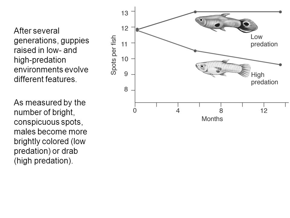 After several generations, guppies raised in low- and high-predation environments evolve different features.