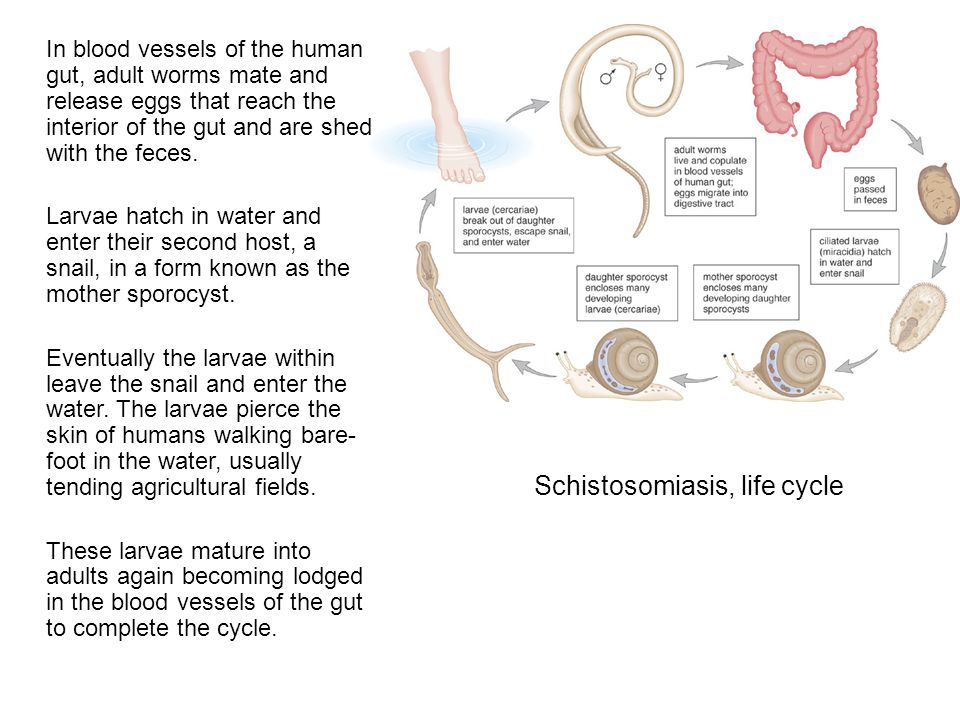 Schistosomiasis, life cycle