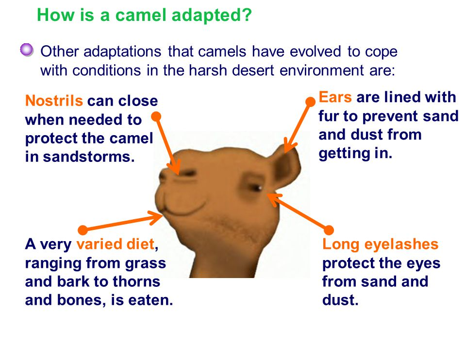 How is a camel adapted Other adaptations that camels have evolved to cope. with conditions in the harsh desert environment are: