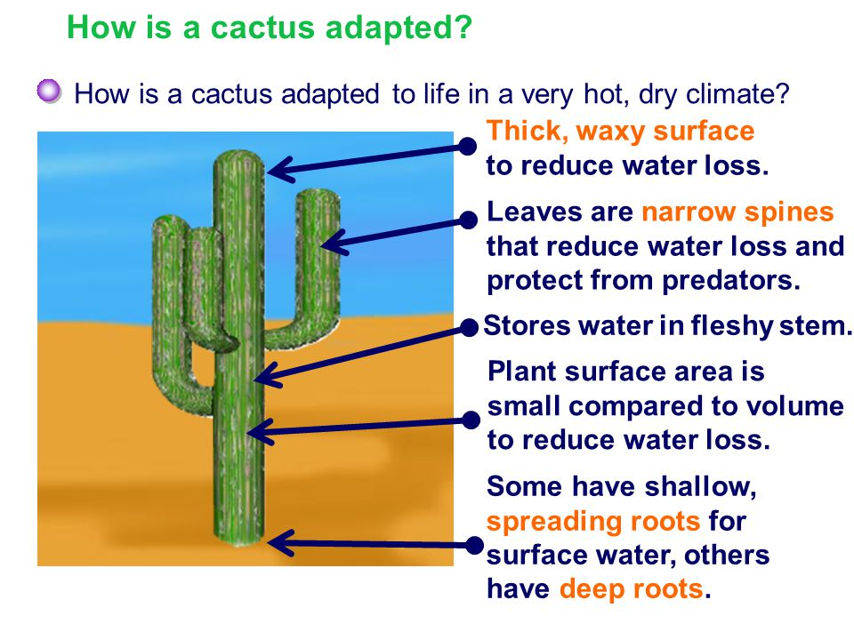 How is a cactus adapted How is a cactus adapted to life in a very hot, dry climate Thick, waxy surface to reduce water loss.