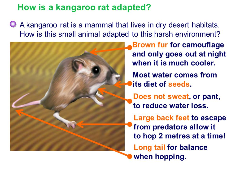 How is a kangaroo rat adapted