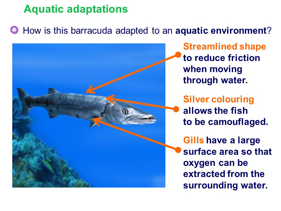 Aquatic adaptations How is this barracuda adapted to an aquatic environment Streamlined shape to reduce friction when moving through water.
