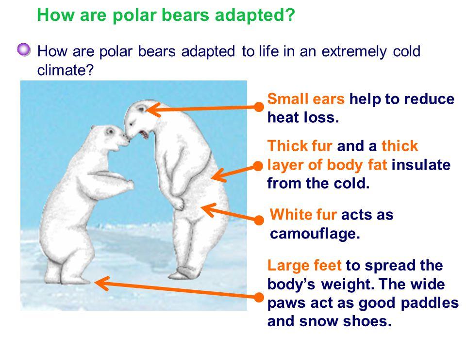 How are polar bears adapted