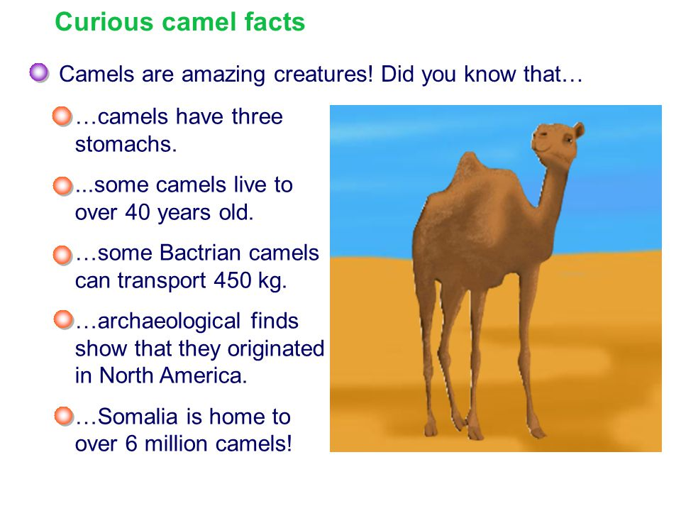 Curious camel facts Camels are amazing creatures! Did you know that…