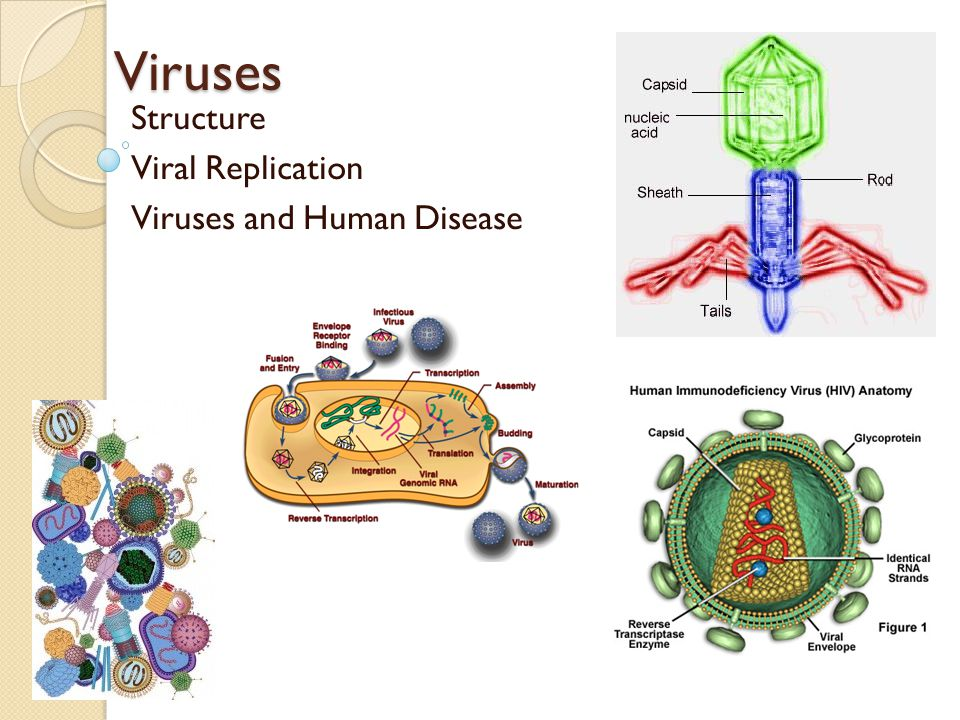 Structure Viral Replication Viruses and Human Disease