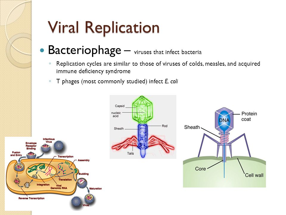 Viral Replication Bacteriophage – viruses that infect bacteria