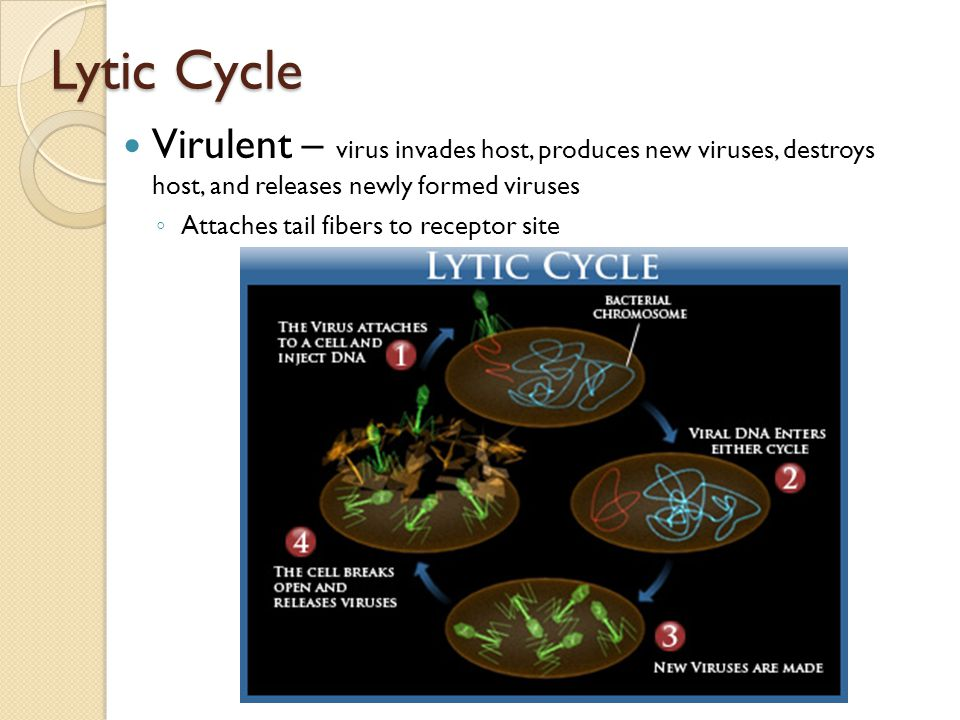 Lytic Cycle Virulent – virus invades host, produces new viruses, destroys host, and releases newly formed viruses.