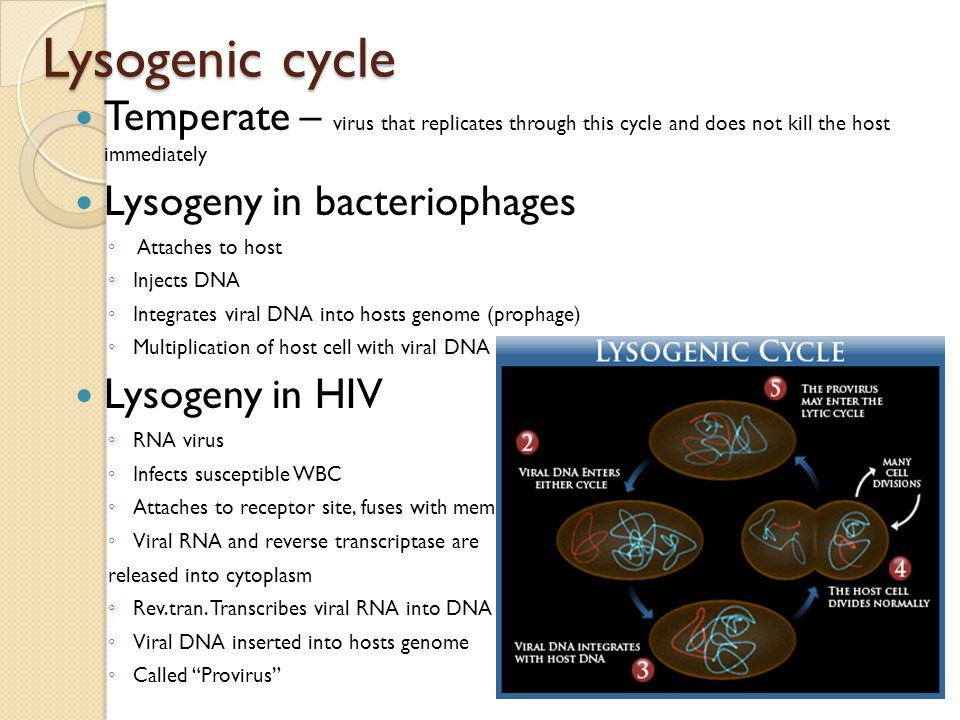 Lysogenic cycle Temperate – virus that replicates through this cycle and does not kill the host immediately.