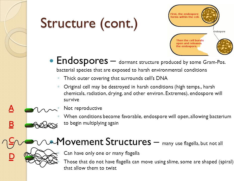 Structure (cont.) Endospores – dormant structure produced by some Gram-Pos. bacterial species that are exposed to harsh environmental conditions.