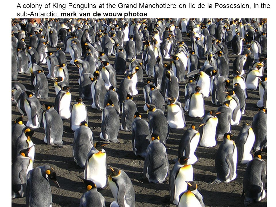 A colony of King Penguins at the Grand Manchotiere on Ile de la Possession, in the sub-Antarctic.