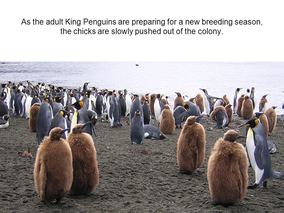 As the adult King Penguins are preparing for a new breeding season, the chicks are slowly pushed out of the colony.