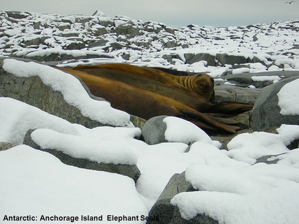 Antarctic: Anchorage Island Elephant Seals