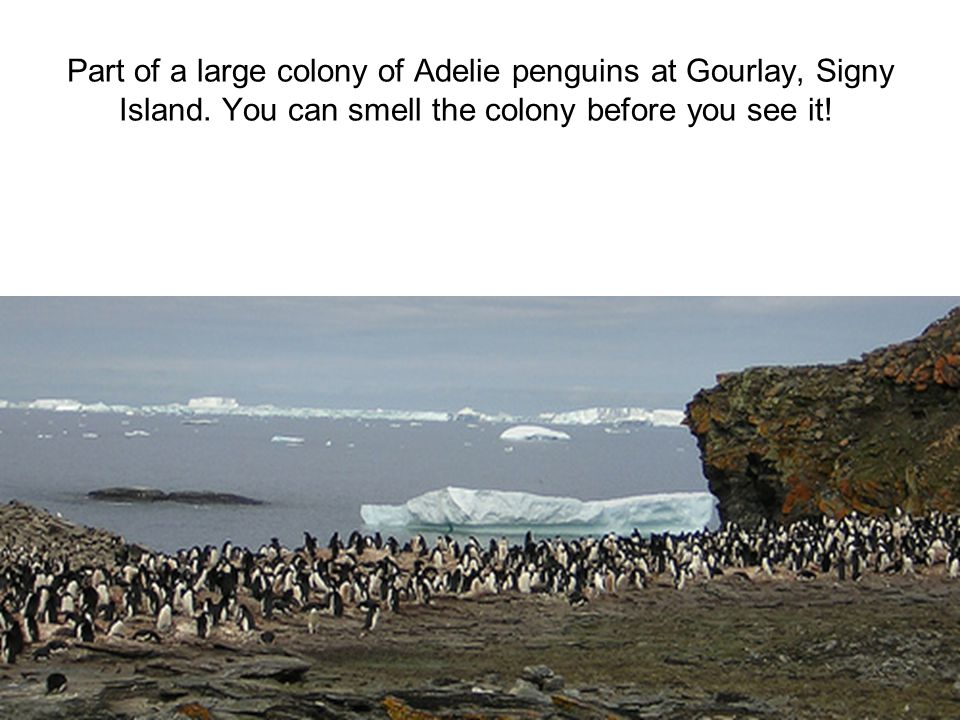 Part of a large colony of Adelie penguins at Gourlay, Signy Island