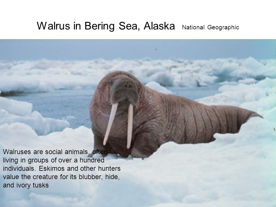 Walrus in Bering Sea, Alaska National Geographic