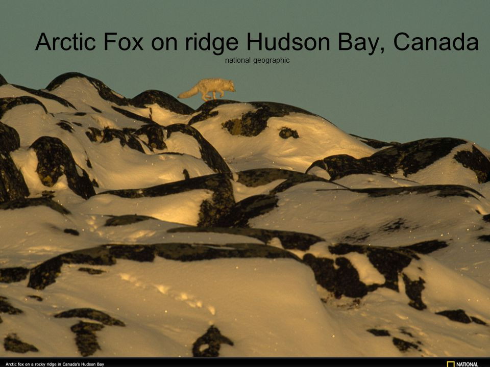 Arctic Fox on ridge Hudson Bay, Canada national geographic