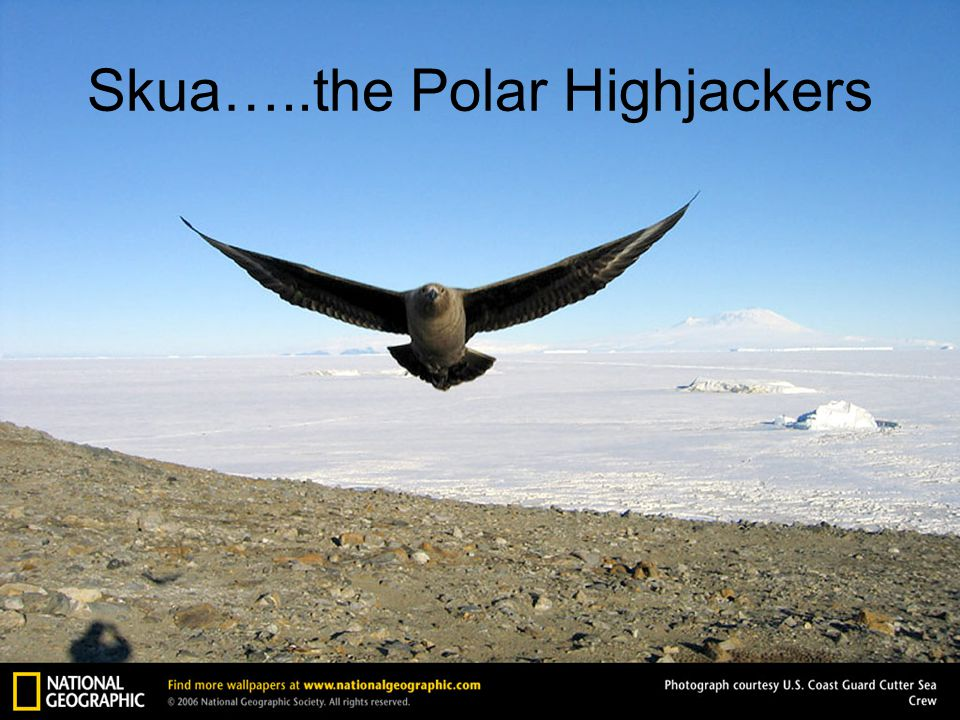 Skua…..the Polar Highjackers